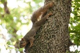 Squirrel near Red Vermillion River, Kanasas along the Oregon Trail.