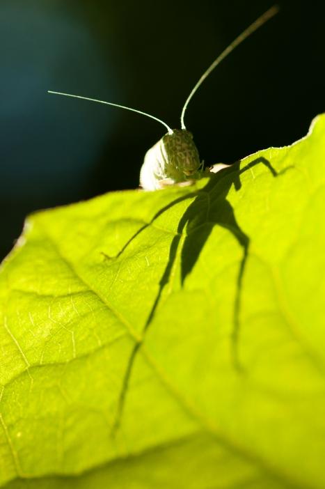 Grasshopper silouette, along the Oregon Trail near the Little Blue River, Nebraska.