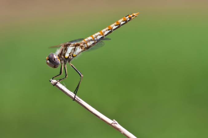 Dragonfly, Oregon trail, Nebraska.