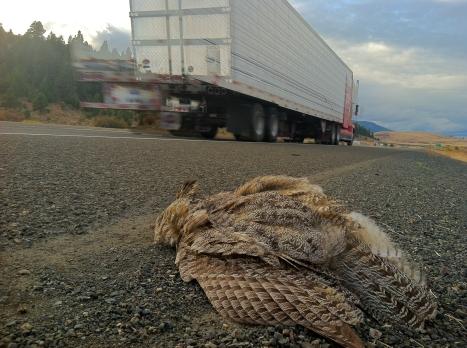 Owl along Interstate 84. Oregon.